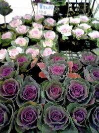 今の時期から葉牡丹が花屋で販売されていたのですが、これはクリスマス用でしょうか?お正月用になるのでしょうか?