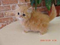 ペルシャ猫の顔の変化について こんにちは。  写真の仔猫ですが、将来どのような顔に変化すると思われますか?   ※ペルシャ猫 ※生後1か月半弱 ※写真だとわかりにくいですが、実際は目の上がもう少し、ペル...