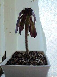 植物の名前を教えて下さい。 写真の植物です。ホームセンターの室内売場で購入しました。先端に茶色っぽいはっぱがついています。 育て方をネットで調べたくても名前が分からなくて。お願いします。