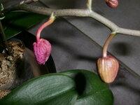 胡蝶蘭のつぼみについて 我が家の胡蝶蘭。 現在8つほどのつぼみがついているのですが、一番最初にできたつぼみ一つだけが梅干しのように赤くシワシワになりました。 画像のような状態です。もう咲かないと思いますが何がいけなかったのでしょうか? お詳しい方教えて下さい。
