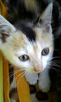 三毛猫の雑種ってなんですか? 三毛猫は三毛猫なのでは・・・? 純粋な三毛猫との違いなどあれば教えて下さい★   野良猫が産んだ子が三毛猫でオスです  尻尾は短くなく普通です 母猫はキジトラさんです