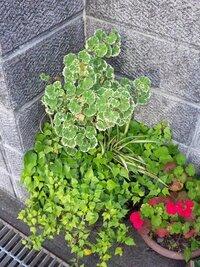 添付します写真でハート型をした緑と白の葉の植物名を教えて下さい。 また何処で購入できるのでしょうか?