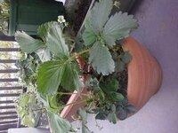 イチゴの実がなりません。 イチゴを鉢で4株育てています。 葉ばかり大きくなり、花も沢山咲いていますが、実がなりません。 液肥を1週間に1 度あげていますが、足りないのでしょうか?  ひょろひょろ長い茎?(...