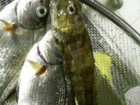 この魚の名前わかりますか? 内房線「竹岡駅」最寄の天羽漁港で堤防釣りをしていたところ 写真のような魚がつれました。 あごの下少し尻尾よりに2本のヒゲが生えているのが特徴で ヒレはどれもまだら模様で大...
