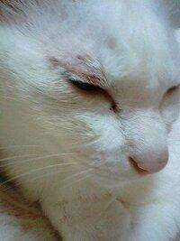 猫がまぶた(目の上)を掻いたり手で毛づくろいしすぎて傷ができました 12歳のメス猫です。 前から、左のまぶたの辺りを、よく毛づくろいしすぎて赤くなることはあったのですが、昨日から掻きすぎて傷になってし...