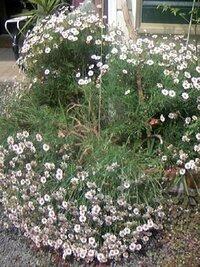 至急です!!!植物(庭花)に詳しい方お願いします。 画像のようにマーガレットが倒れてしまいました。 既に倒れそうで麻ひもで吊ってあったのですが ギリギリ立っていたところ、昨夜の雨の重みで 倒れてしまいました。 まだつぼみはいくつも残ってますが、 若干花期のピークを過ぎたようです。 刈り込んでしまうべきでしょうか? その場合どのへんにハサミを入れれば良いでしょうか?  花のプ...