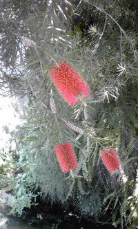 こいつ なんていう植物ですか? ここは静岡県西部です。 川のそばの民家の外に生えてます