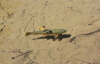 上高地の明神池に泳いでいるこの魚はイワナですか?