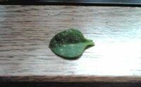 葉っぱがブツブツになってしまいました。 ベビーサンローズの葉っぱが写真のようにブツブツになってきました。 あと葉っぱがいびつになってきてるのもあります。  どうしてなのでしょうか...(泣)  対処法はありますか?