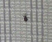 網戸につくゾウムシ?  網戸に大量についてる1ミリくらいの虫。  ダニと教えて頂き調べたり また2人の方にゾウムシと教えて頂き調べましたが  いまいちピンとこない。  画像はカナリ小さいのでボケてしまった。。。 横からみると、ほんとテントウ虫ばりに丸くふっくらしてる感じで。。。 網戸の編み目と同じ大きさです。  ゾウムシにも似てるんですが、1ミリくらいのゾウムシっているのですか?  しかしダ...