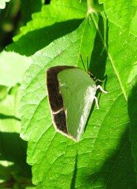 タテハチョウ?っぽい四角い翅の蝶、画像から種類判りませんか? 自分でも調べてみたのですが、どうにも合致する種類がいなくて 質問させて頂きました。 翅が前翅・後翅でぴっちり揃っています。 そして角ばって綺麗に四角いです。 顔の感じからタテハチョウの種類かなとは思うのですが… 翅の色は外側は真っ白で手足も真っ白。 結構太くてしっかりした手足で短いです。 翅の内側は黒っぽくて白っぽい...
