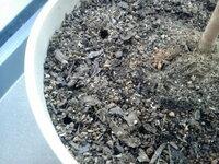 植木鉢の土の表面に穴ができました。どうしたらよいでしょう? ヒメシャラを植木鉢で育てています。ふと今朝に気付いたのですが鉢の隅に2か所、小指の太さほどの穴が開いていました。これはなんでしょう?何かの...