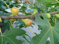 このイチジクの品種を教えてください! セレストまたホワイトゼノアとは違和感があるようです。  夏果専用品種らしく盆から10月いっぱいが収穫期です。  日持ちが悪く、雨にも弱いですが、糖度が抜群で(そのままジャムになるくらい)非常に粘質です。  葉の形はヌアールド・Kに見分けられないほどそっくりです、50年以上前から栽培しています。