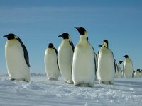 ペンギンって、二足歩行動物ですよね!? 人類はペンギンに滅ぼされるのではないかと、心配で夜も眠れません。  ペンギンの侵略に対抗するには、日本も核武装するしかないのではありませんか?