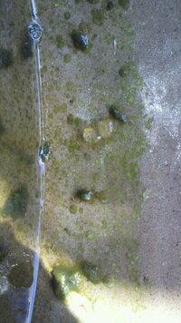 メダカを飼っている鉢の中に写真のような透明のゼリー状のものを見つけました。中には小さい粒がたくさんあるような気がします。そして他に、 藻の塊のようなものもみつけました。その中から赤くて細い尺取り虫の...