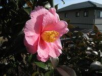このツバキの品種名をご存知の方教えてください。 早咲きで他のツバキに先駆けて2月初め頃から咲き出します。
