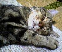 """腕枕にひざ枕・・・皆さんは、体のどこを愛猫たちに枕にされてますか?   ☆ 最初に飼った子(ペルシャ♀)には、顔枕・・・私の顔にぺったりと頬をくっつけて寝ていました ^^ たまに顔の代わりに、鼻先へねこのお尻がディープな距離で・・・よく゛香り""""で目が覚めました ^^;  2番目(先代アメショ♂)の子は、夏場は足首枕、他のシーズンは小股の間で○○を枕にされてました。 時折、倒れこ..."""