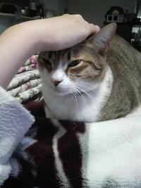 なぜネコは膝の上が好きなのでしょうか?  私の飼っている猫は非常に膝の上が好きで、私が膝を立てて座っている時などは、片方の手で私の体をポ ンと叩いて「乗せて」みたいな仕草をしてきます。 それで膝を伸ば...