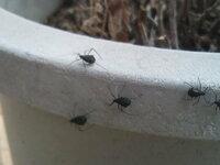家の庭に10mm弱の黒い丸い虫(写真参照)が大量発生しています。名前と対処方法を教えて頂けないでしょうか。 蜘蛛のようですが脚が6本なので・・・・。カメムシにしては脚が長いし・・・・・。