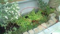 この植栽の名前を教えてください。 この植物の名前は何でしょうか?(写真あり) 植栽ですが、これの名前を教えてください。(赤丸内)ツルニチニチソウではありません。黄色の斑入です。