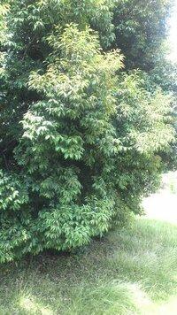 この植物の名前教えてください。  5月に臭い匂いの花?が咲きます。  前にも投稿して、栗の解答をいただきましたが、落葉しませんし、楠の葉ににています。