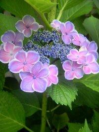 この花の名前を教えて下さい。 縁取りのあるアジサイ。初めて見ました。 品種を教えて下さい。