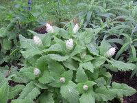 植物の名前を教えてください。 何重かの白っぽい花?の部分は10~15cm程度です。 緑地公園にありました。 よろしくお願いいたします。