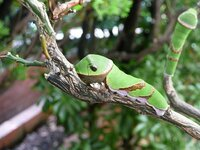 アゲハ蝶の幼虫についてお聞きしたいことがあります。 ついている木以外の葉で育てることは本当にできないのでしょうか? 庭にそれほど大きくないミカンの鉢植えがあります。 いつもは虫がついていると葉を食わ...