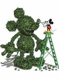 ディズニーランドなどで見かける、ミッキーの形をした植木。 あれって何の木で作っているのでしょうか? わかる方いますか? 以前なんとかコケと聞いた記憶があります。