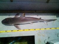 数日前に、長崎県は大村湾内で釣り上げた鮫です。  型的にはまだまだ大きくなります。  この鮫の名前が知りたいのですが、どなたかご存知ないで しょうか?   ちなみに、お刺身とフライにして食しましたが美味で...