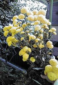この菊ですが毎年160㎝の高さになり 杭にひもでくくるので見苦しく美しくないのです 低く育てることができますか。
