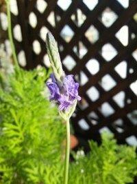 この花の名前を教えてください。 この花は、ハーブっぽい臭いがします。 葉っぱは白妙菊のような形状ですが、もちろん、シルバーではなく、そして、もう少し細いです。 今ベランダに咲いています。 妙に気になっているので、花の名をよろしくお願いします。