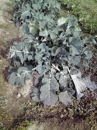 ブロッコリーに花蕾が出てこない? 昨年9/23日種まき(トレーに、さすがタキイの種で100%発芽した) 10/11日畑に定植、途中化成肥料を施し順調に大きくなってきましたが、定植後3ヶ月と半月(約105日)経過するも 未だに花蕾が出てきません。(下記画像参照)  品種はタキイ「ハイツSP」で定植後65日となっています。  http://www.takii.co.jp/CGI/ts...