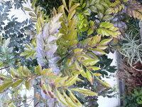 シマトネリコの葉   写真の様に、黄色(黄緑)がかって茶色の斑点があるのは枯れかかっているのでしょうか?  それとも病気でしょうか?  冬場は茶 色になることがあるというのは聞いていますが…  奥の方の濃い緑の...