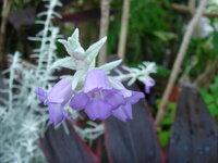 白っぽい葉で薄紫色の花です。名前を教えてください