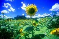 久石譲さんの「Summer」を聞いて、ふとそんな風景がある場所にいきたくなりました。 ひまわり畑が綺麗で夏を感じる場所があったら教えてください!(国内でお願いします、まだ高校生なので…)