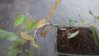 最近50センチ程の寒緋桜の苗を買ってきて、幹に針金をかけて植え替えをしたのですが 葉が黄色くなってきてるのですが枯れてきてるのでしょうか? 何が原因なのでしょうか?