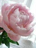 """芍薬を表わすかわいい子供の名前 最近ペンネームや子供の名前を考えているのですが、芍薬の花が好きなので、どうにか芍薬に因んだ名前を使いたいのですが、いまいちいい名前が思いつきません。  ボタン科だし牡丹ちゃんもいいかと思うけど、やはり牡丹の花よりも芍薬が好きです。 英語のペオニーもギリシャ神話の""""医の神""""「Paeon」の名に由来するペオンさんも日本語にしにくい。  別名も 顔佳草(..."""