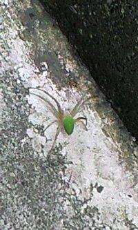 このクモ、毒はないですか?  ものすごくきれいなクモを見つけました。  私はこの世の中で、一番嫌いな生物がクモですが、 思わず写真に撮ってしまいました。  しかし、色があまりにも鮮やかなので、毒が...