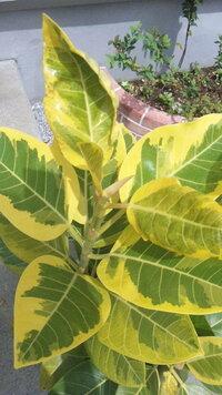 アルテシーマの葉がふやけてる? 観葉植物のアルテシーマを、野外で育てています。 鉢が手狭に感じたので、3週間ほど前に鉢替えをしました。 それを境くらいに、新しく芽吹いた葉がふやけているような、シワシ...