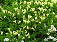 南富良野の高山植物11 いつもお世話になります。 北海道の山で見かけた高山植物の 花の名前を教えてください。 標高は1000m~2000mになります。