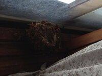 秋のアシナガバチ 自宅の部屋の中にアシナガバチ(種類は不明)が巣を作りました。 洗濯物を干すときに刺されそうでビクビクしていましたが、あれこれ調べてみるとスズメバチのような危険性も無いと分かったので駆除もせず育ててきました。 9月に入り、全盛期に比べると巣も大分大きく(握り拳くらい)なりました。 蜂たちはというと、巣にへばりついているのが5匹程度で残りは部屋の天井や壁に10匹くらいの団...