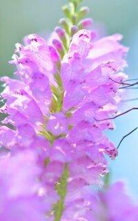 花の名前を教えてください   撮影 静岡伊豆 撮影日 2012年09月10日  生育環境 街中の花壇  高さ 30~50cm 蝶や蜂がたくさん蜜を吸っていました   上手に写真を撮れませんでしたが、 どうぞよろしくお願いいたいます。