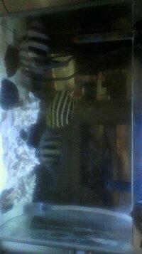 カゴカキダイの混泳について相談です。  先日の22日神奈川県葉山エリアに釣りに行き良さげな個体持ち帰りました。  内訳は、サンバソウ2匹、 カゴカキダイ1匹、オヤビッチャ1匹、カワハギ1匹です。  飼育環...