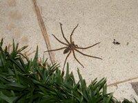でっかいクモがいました。 この蜘蛛って毒があったりしますか?  けっこうデカかったのに、動きが俊敏でビビりました。