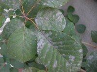 葉っぱが白くなっています、病気ですか? スモークツリーの葉です。  普段特に手入れはしていませんが、去年の今頃も同じように葉が白くなりました。 うどんこ病でしょうか? 詳しい方、対策などアドバイスお...