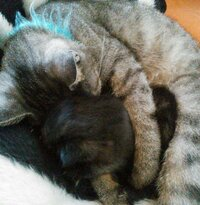 先輩猫と子猫 微笑ましいです 今日子猫を拾いました わたしの家は猫が四匹いて  一番年上のこは 子猫二ビビってました  三番目のこは 威嚇していました  四番目のこは 興味津々という感じで  二番目のこ...