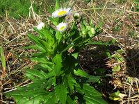 葉の周辺に棘があるようで、アザミのようにチクチクする感じの植物です。これはノゲシと言うのでしょうか?今月熊本県で撮影しました