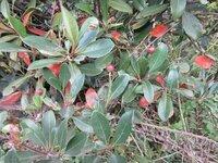 この赤い実を枝先につける木は何でしょう。モッコクにしては葉っぱがギザギザして、実の付き方も枝の先にあり、なにか感じが違うような?