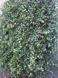 画像貼り忘れたので再投稿です。 画像が小さいですが、  ソテツか何かの木を包み込むような小さな葉の植物を見ましたが、これ以上近づけない状態でした。  茎も細く葉も小さなこの植物は何でしょうか?